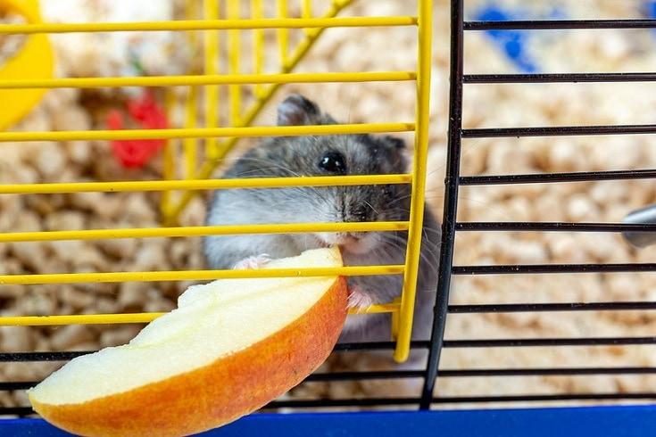 hamster makan apel