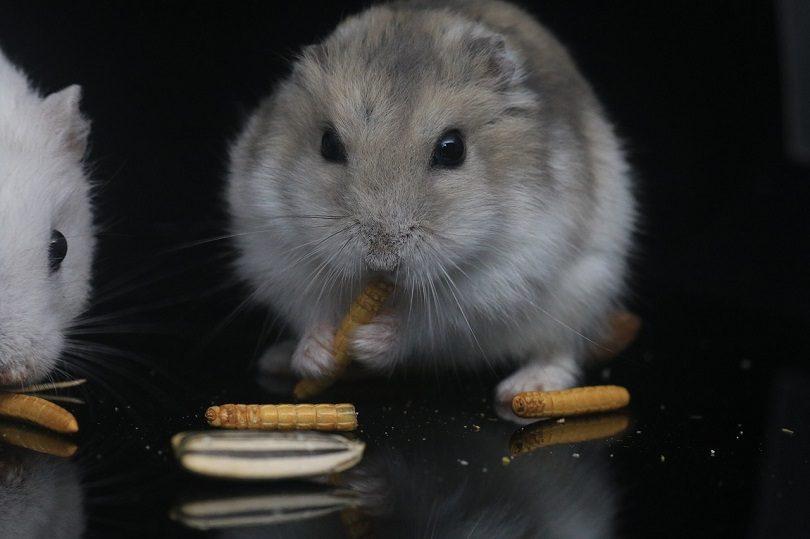 hamster-eating-pixabay