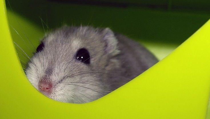 hamster green