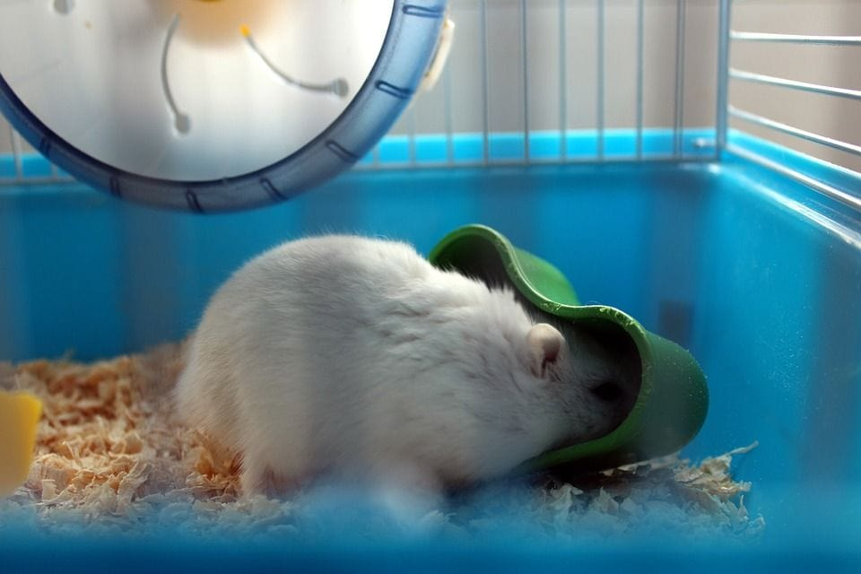 hamster inside cage eating