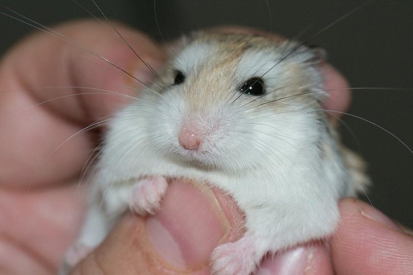 hamster-pixabay2
