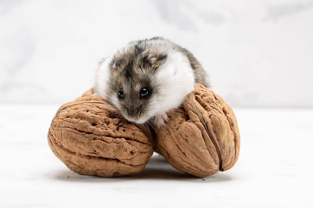 hamster with walnuts