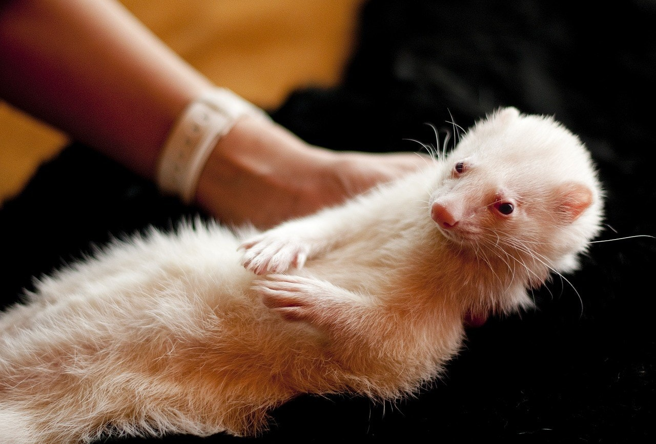 hand carrying ferret