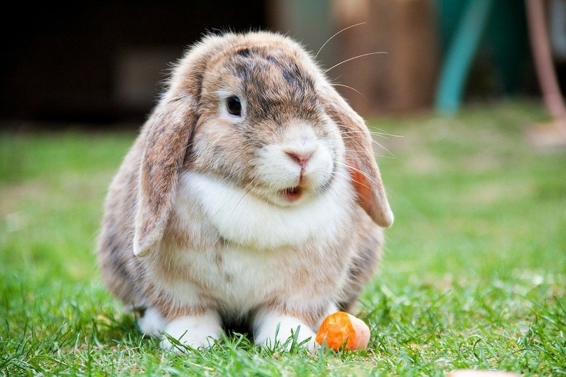 lop-eared-rabbit-pixabay