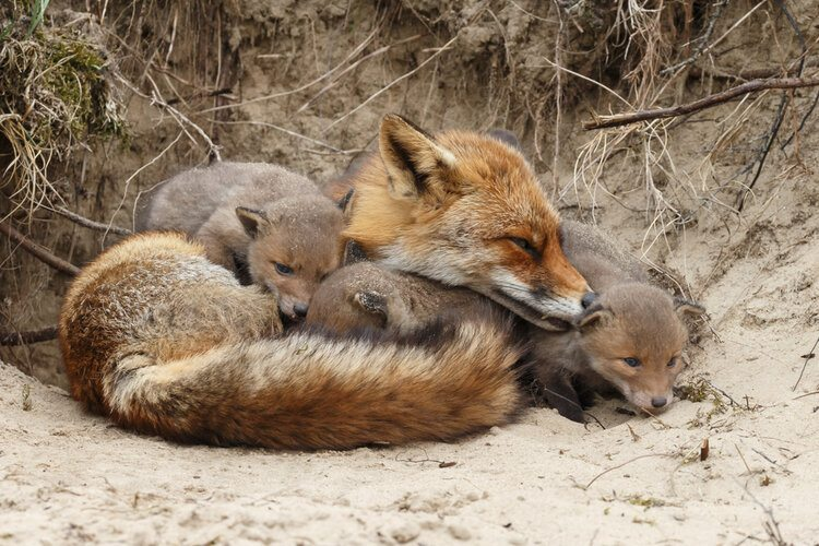 newborn foxes