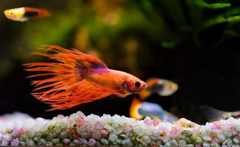 orange Siamese fighting fish_Andrej Jakubik_shutterstock