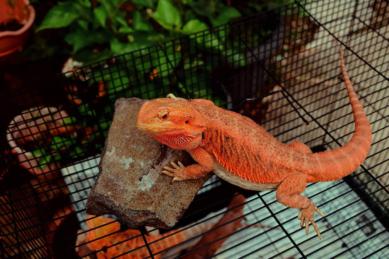 orange bearded dragon