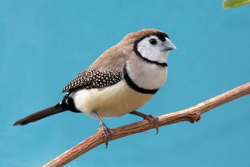 owl finch bird_Four Oaks_shutterstock