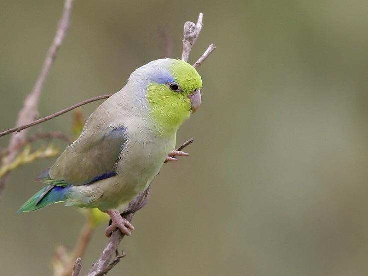 pacific parrolet male