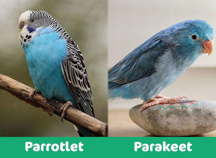 parrotlet vs parakeet visual