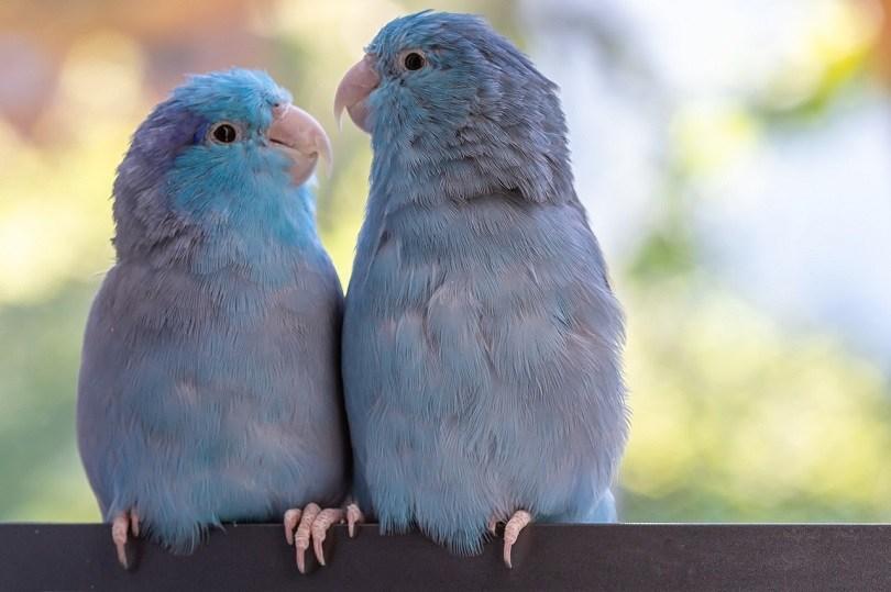 parrots-pixabay