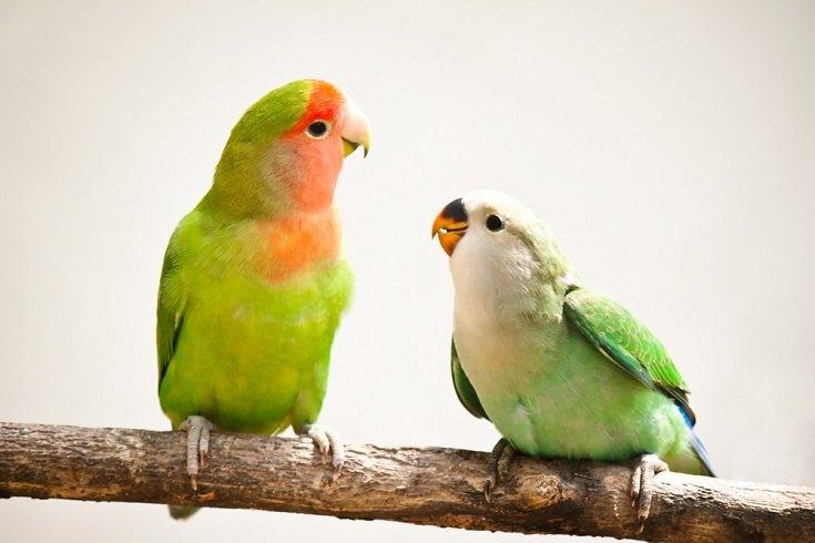 peach-faces lovebirds