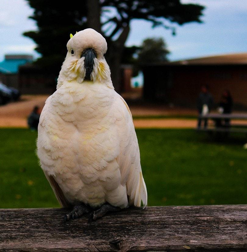 pearl-cockatoo-pixabay