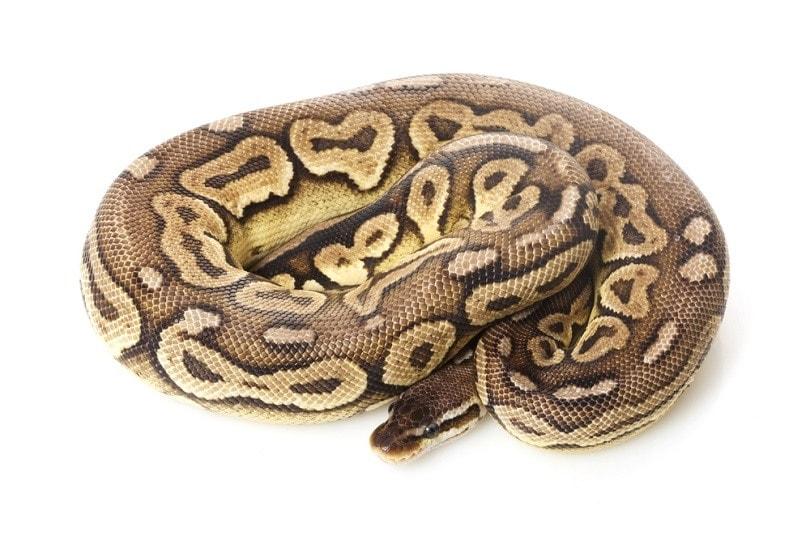 pewter ball python_fivespots_shutterstock