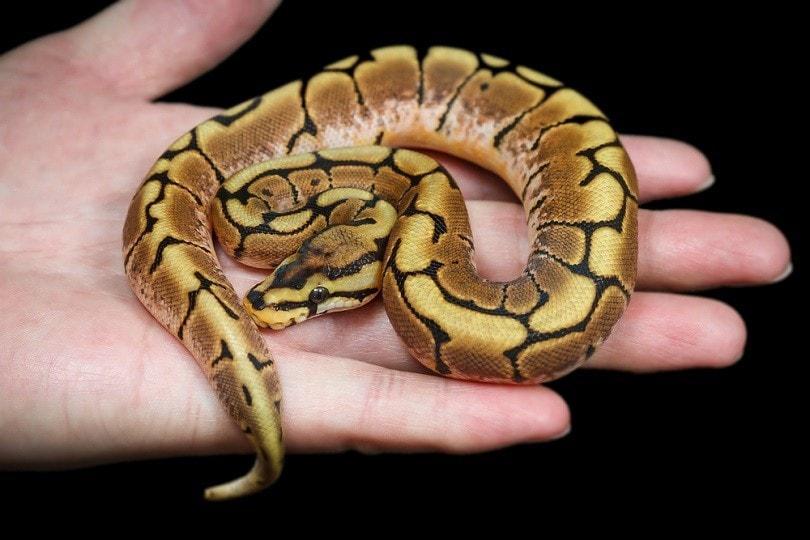 phantom ball python_bluedog studio_shutterstock