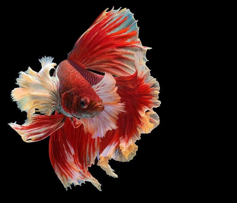 red dragon betta_BannokStockPhoto_shutterstock