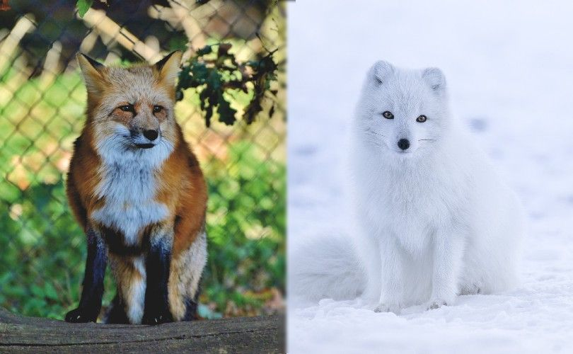 red fox vs arctic fox