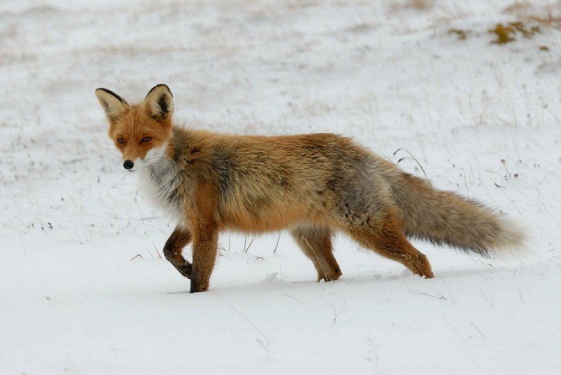 red fox walking in the snow
