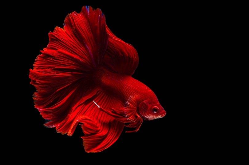 red siamese fighting fish betta_3623_shutterstock