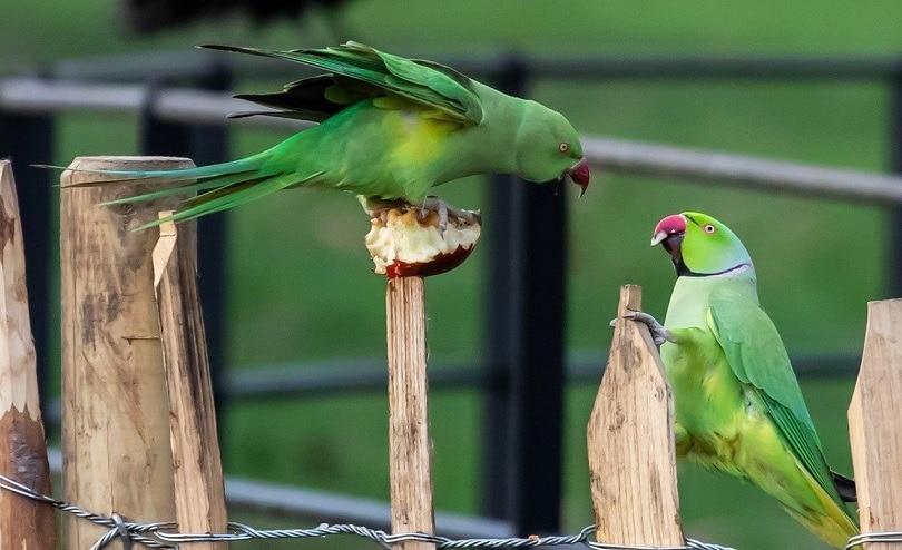 ring-necked-parakeets-pixabay