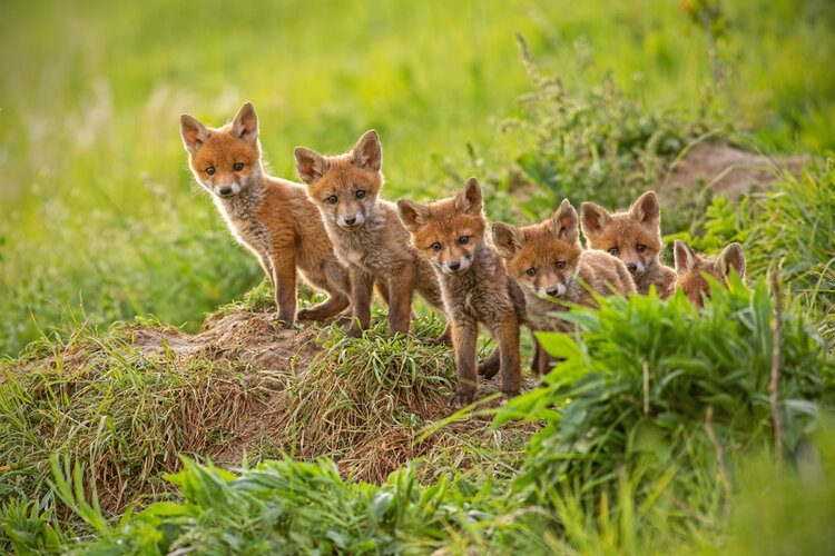 Fox Social Life: Do Foxes Live in Packs? | Pet Keen