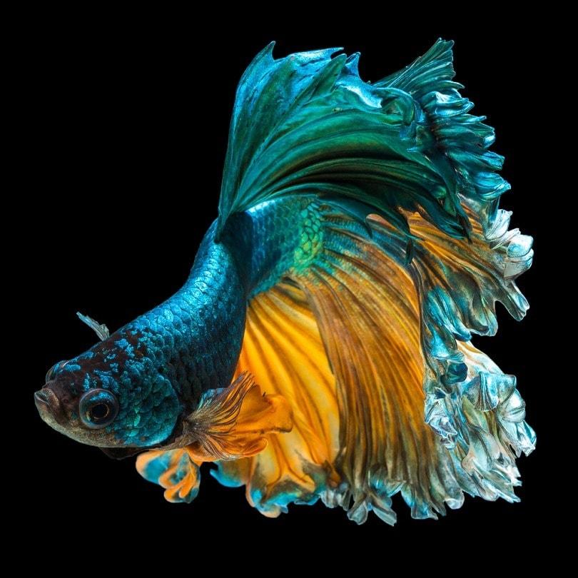 siamese fighting fish Half moon_Kidsada Manchinda_shutterstock