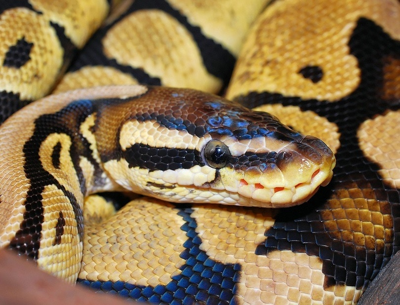 snake-pixabay