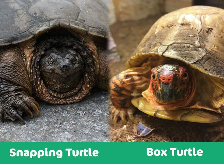 snapping turtle box turtle visual