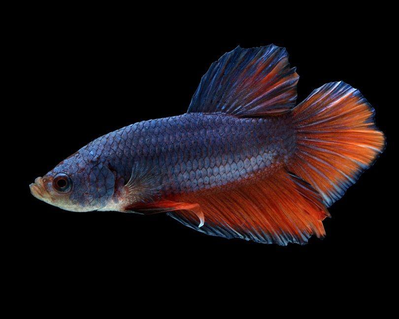 spadetail Male Plakat Betta Fish_Sean McVey_shutterstock