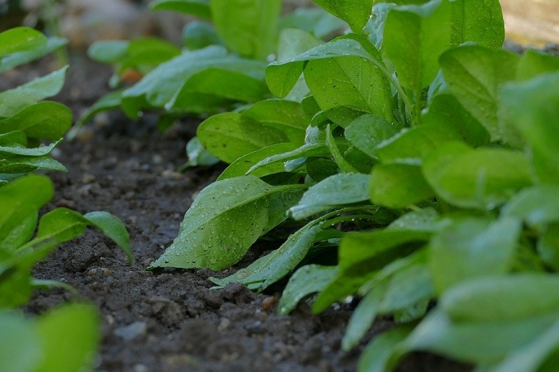 spinach-pixabay