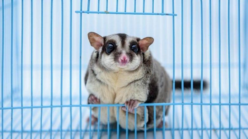 sugar glider in the cage