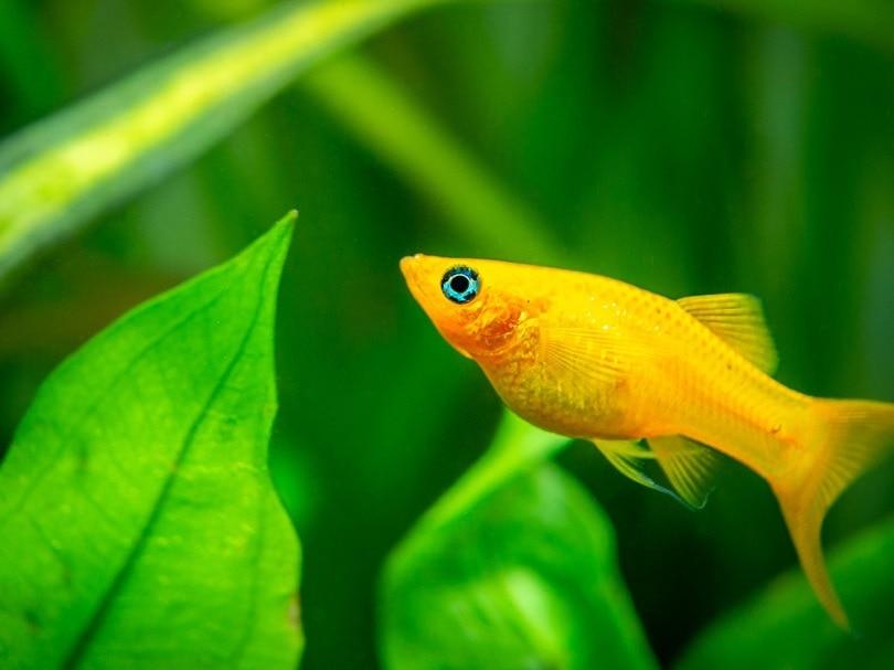 sunburst yellow molly fish_Joan Carles Juarez_shutterstock