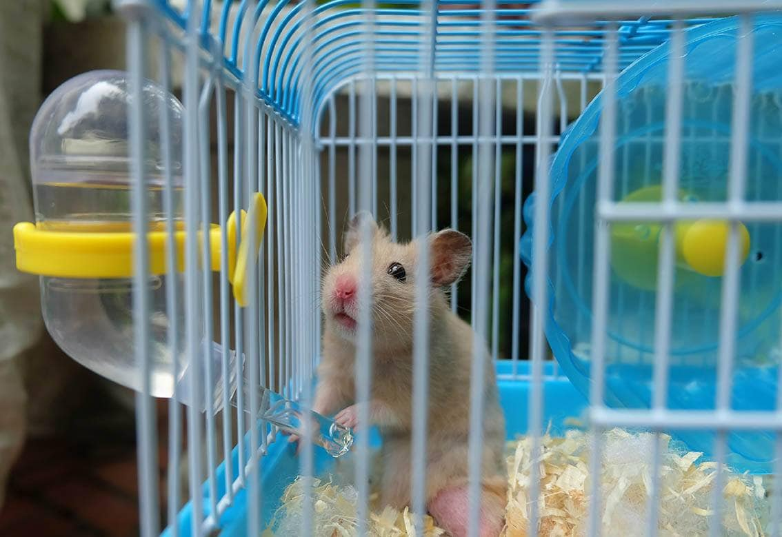 syrian hamster in blue cage