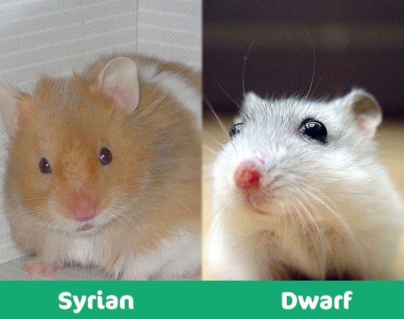 syrian vs dwarf hamster