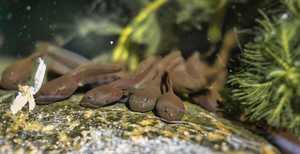 tadpoles close up