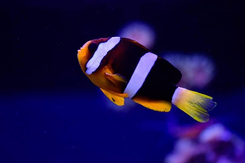 three-band anemonefish_Andrej Jakubik_shutterstock