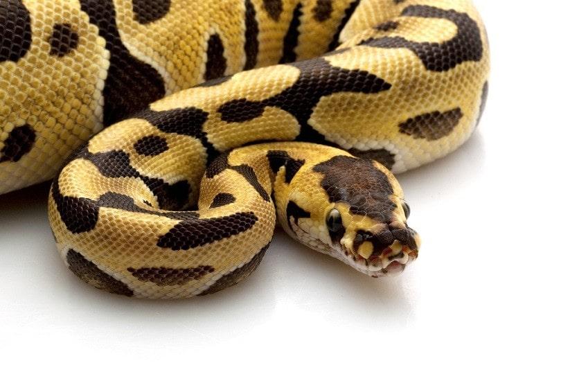 tiger ball python_fivespots_shutterstock