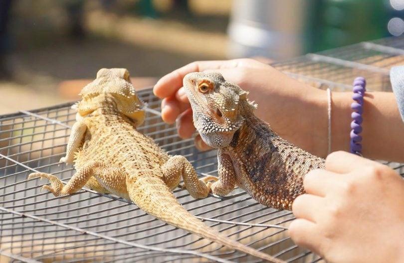 bearded dragons_Kevin Khoo, Shutterstock