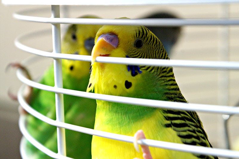 two budgies in a cage