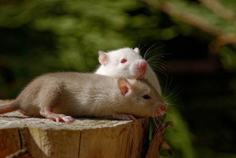 two fancy rats