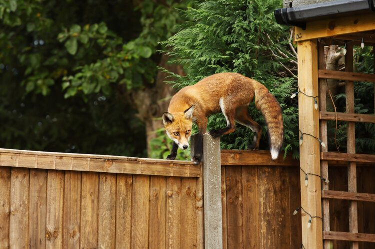 urban red fox