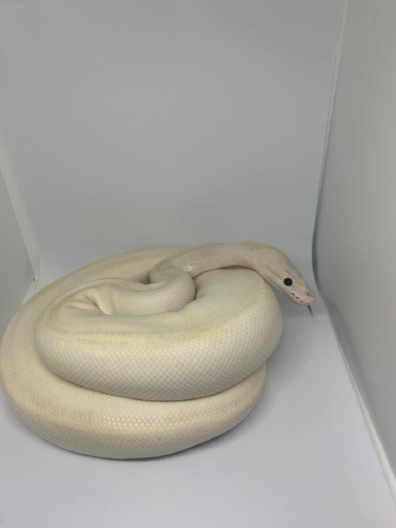 white ivory male ball python_Edwini9_shutterstock