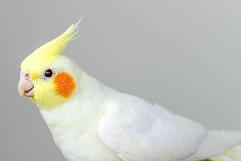 white lutino cockatiel_Wirestock Creators_shutterstock