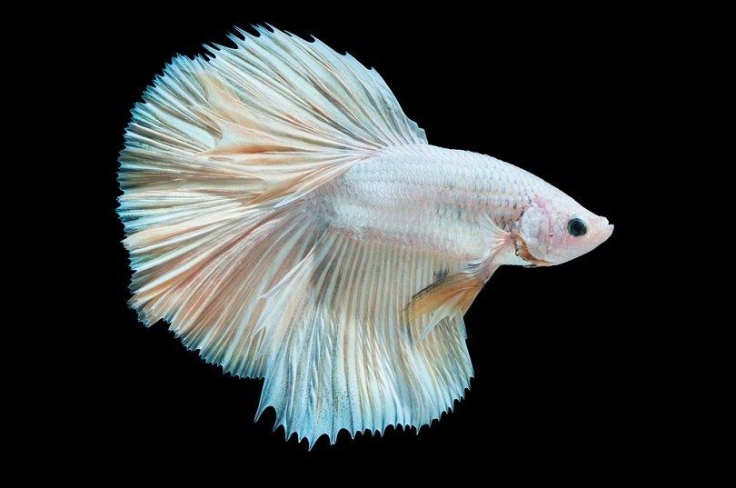white siamese fighting fish betta_surachet khamsuk_shutterstock