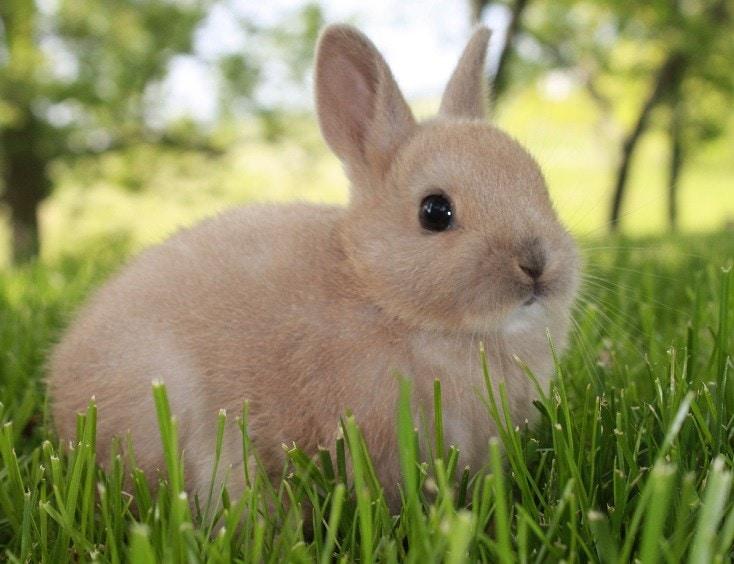 4-Week-Old_Netherlands_Dwarf_Rabbit
