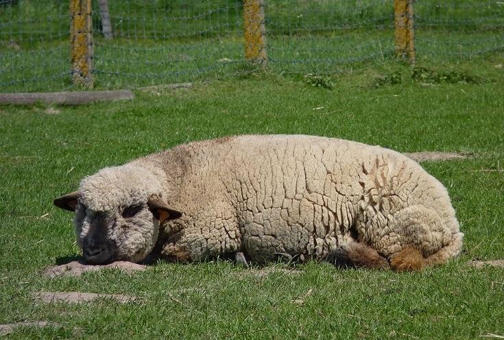 A Hampshire Down sheep