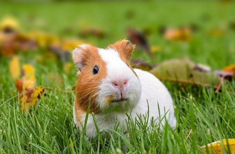 A guinea pig running around in the garden_theianov_Shutterstock