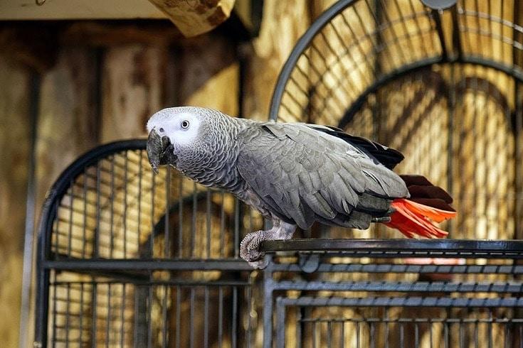 African_grey_parrot,_Psittacus_erithacus_02