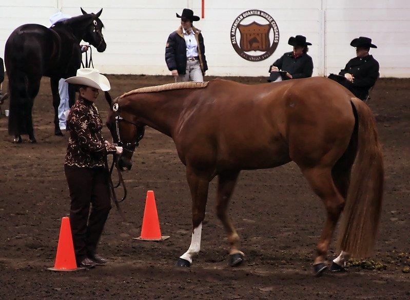 American Quarter_Horse