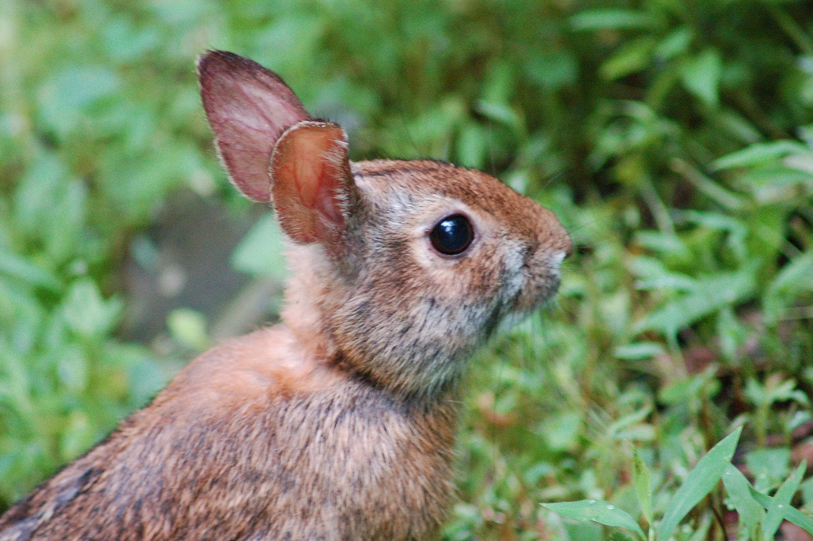 Appalachian Cottontail close up